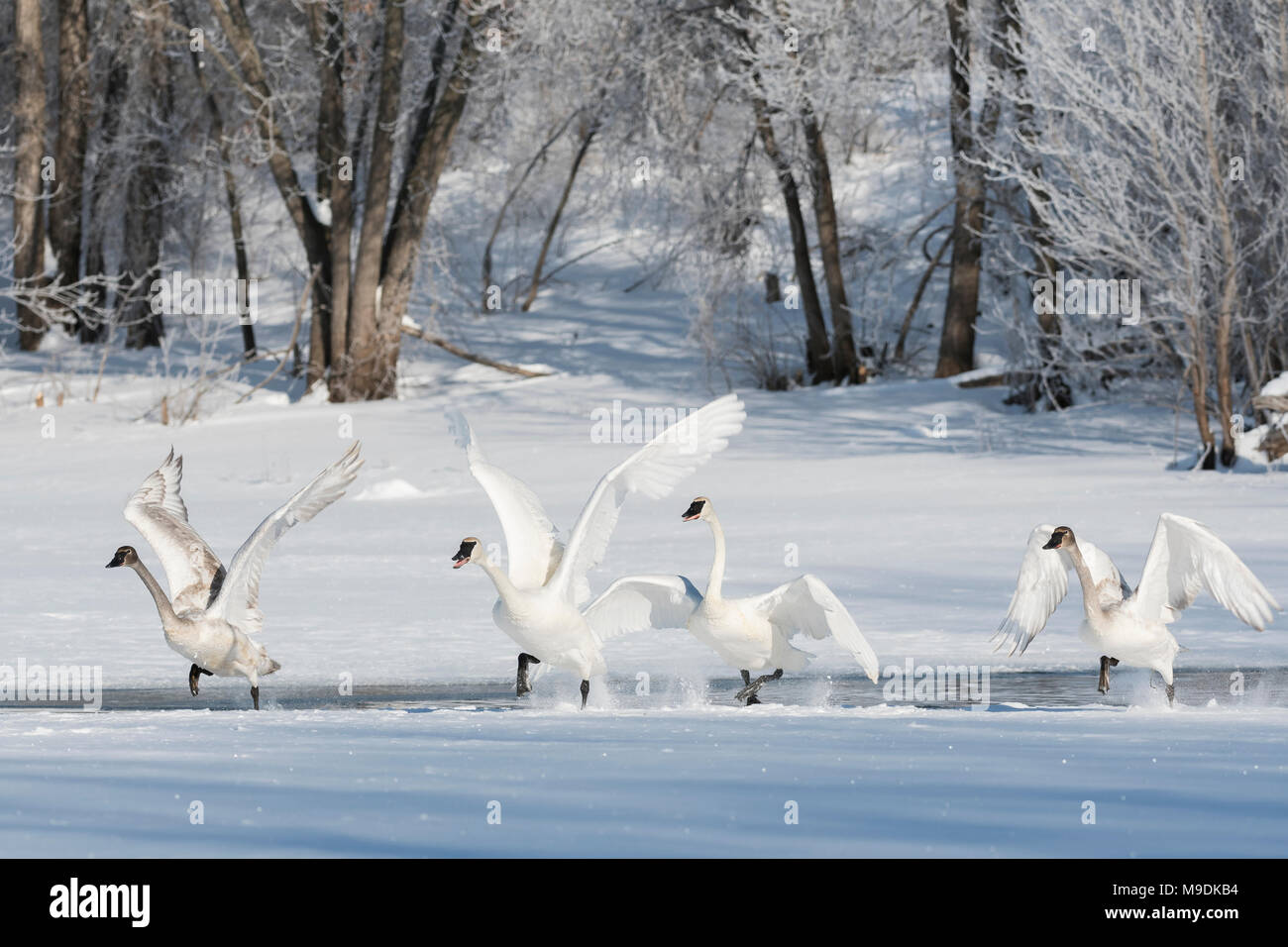 Trumpeter swans (Cygnus buccinator) taking off from the St. Croix river, WI, USA,Late February, by Dominique Braud/Dembinsky Photo Assoc - Stock Image
