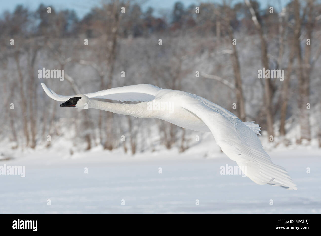 Trumpeter swan (Cygnus buccinator) taking off from St. Croix river, WI, USA, late February, by Dominique Braud/Dembinsky Photo Assoc - Stock Image