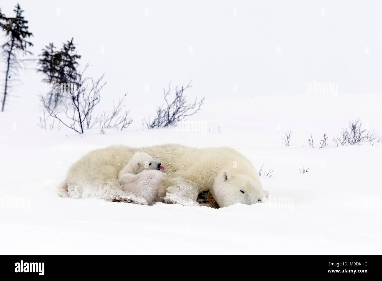Polar Bear and Very Young Cubs - Stock Image