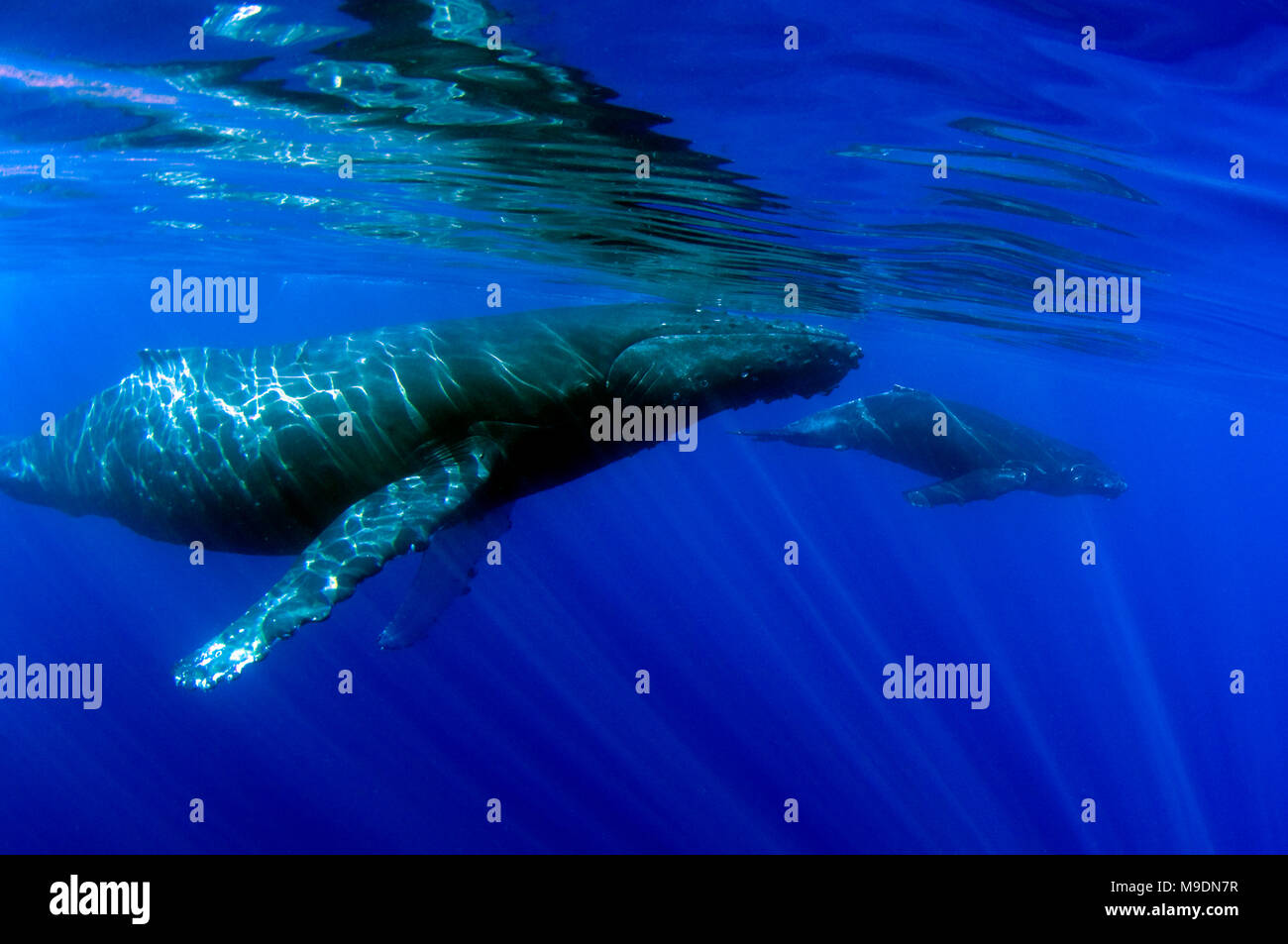 Mother and calf humpback whales swim of the coast of Maui, Hawaii. - Stock Image