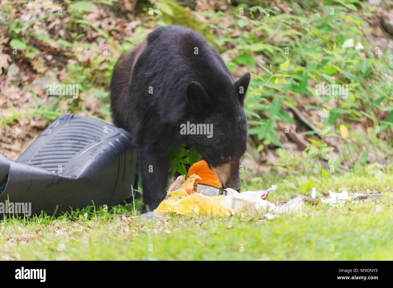 Black Bear eating Trash from trash can at edge of road in Upstate New York. - Stock Image