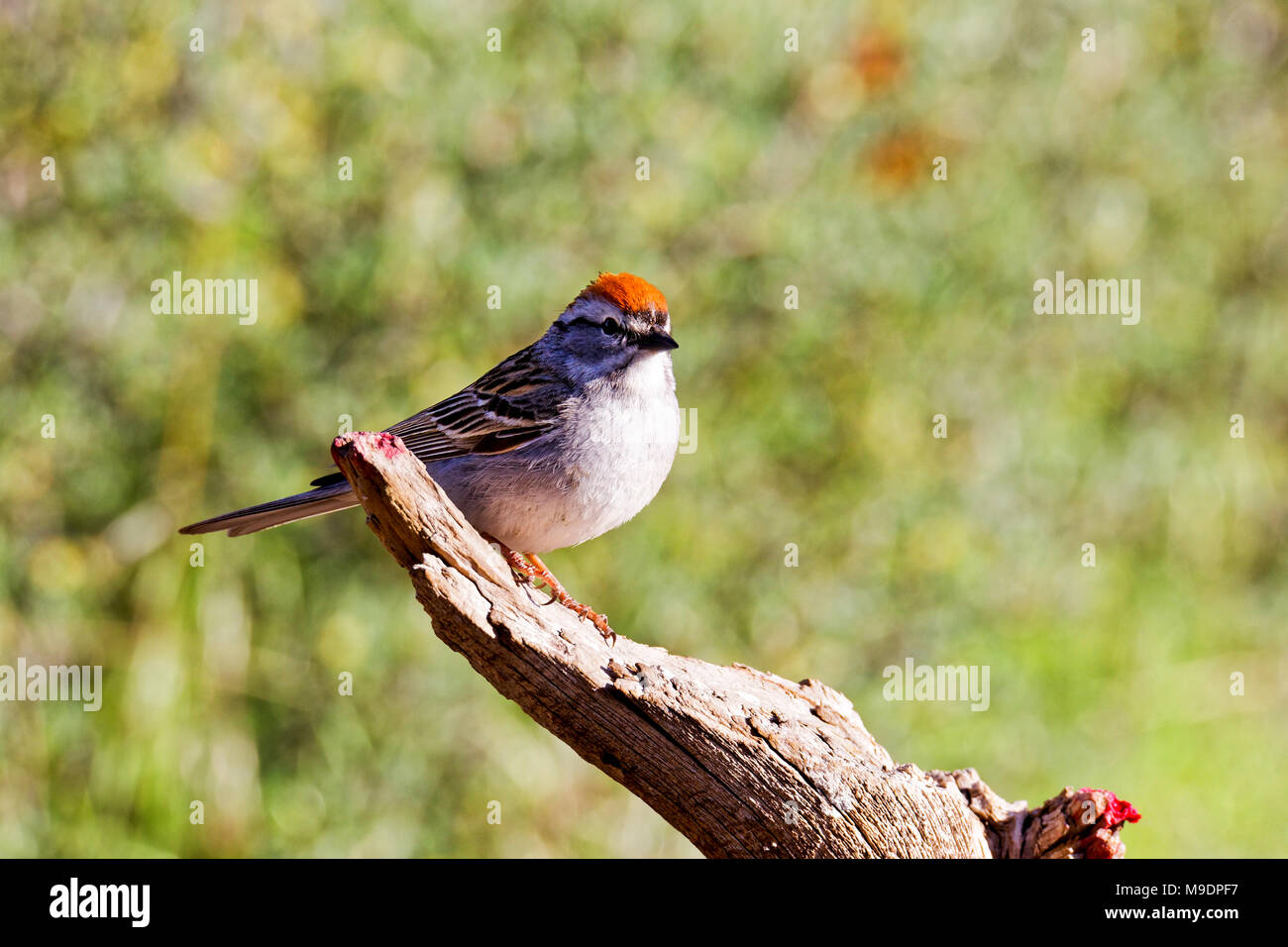 42,885.02837 close up of an adult Chipping Sparrow (Spizella passerina) in breeding plumage on a dead tree branch, greenish yellow background - Stock Image