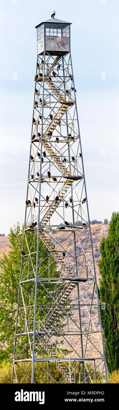42,995.05830-b tall steel fire and wildlife observation tower with 55 roosting Turkey Vultures (Cathartes aura, Cathartidae) [higher Mb] - Stock Image