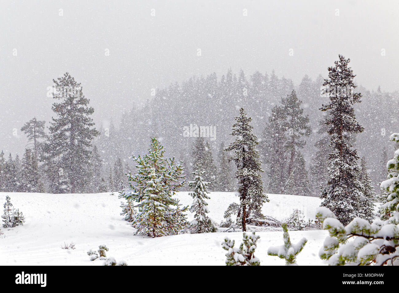 43,042.07668 heavily snowing on background winter hill and sparse conifer forest open meadow, snowy winter whiteout landscape - Stock Image