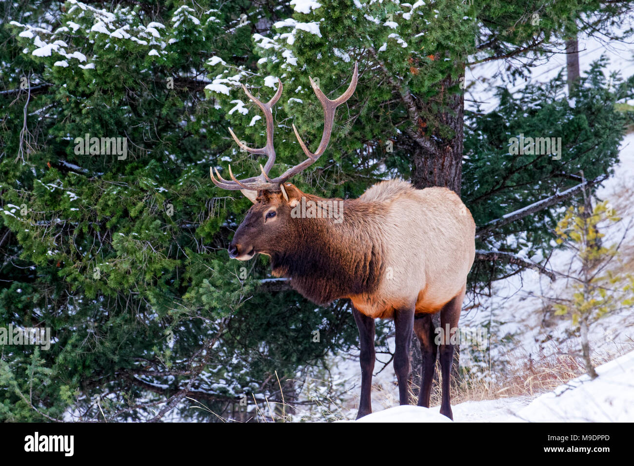 43,113.08809 majestic 5x5 bull Elk with his head held high, standing in a conifer forest, winter snow - Stock Image