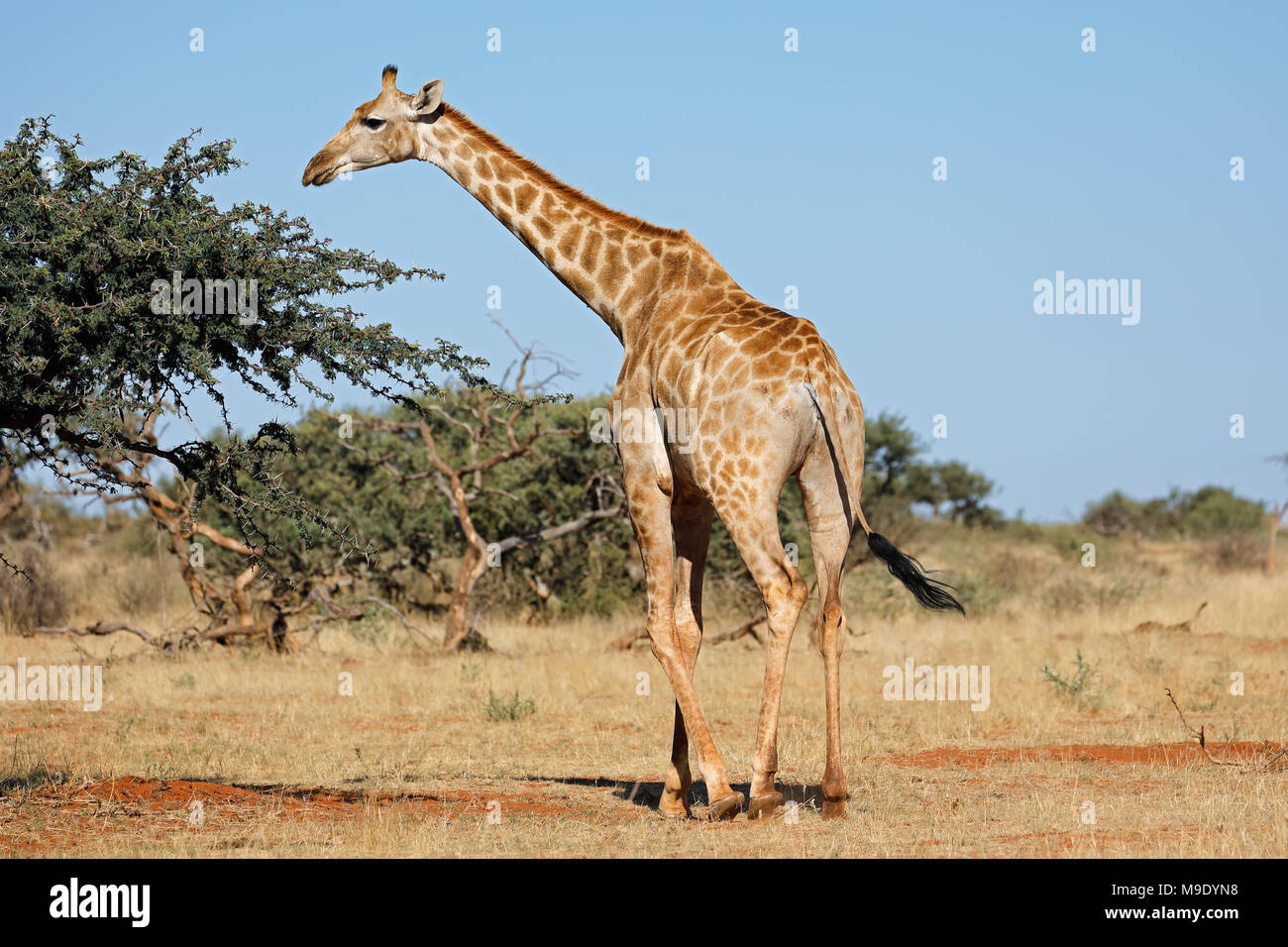 A southern giraffe (Giraffa camelopardalis) in natural habitat, South Africa Stock Photo