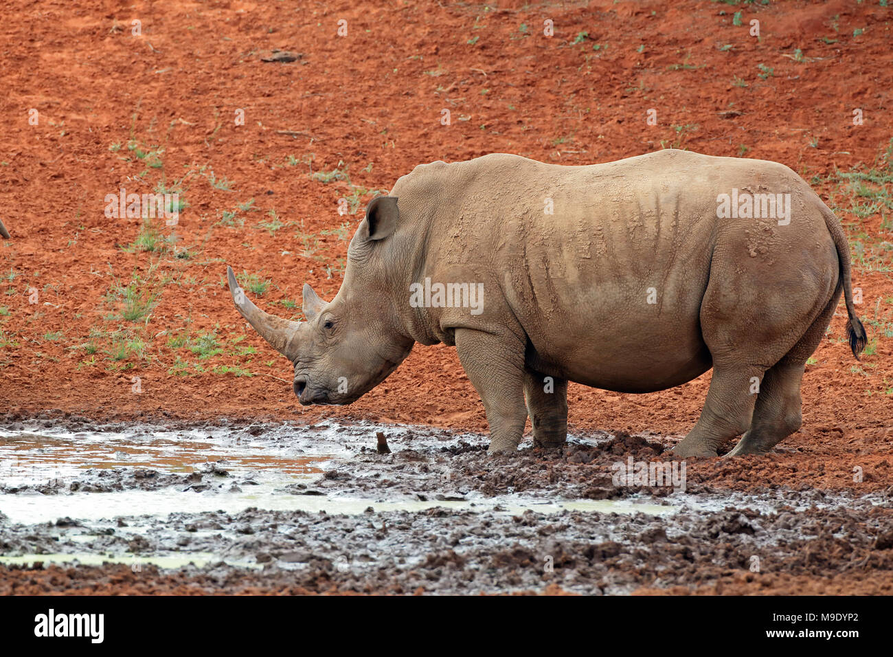 A white rhinoceros (Ceratotherium simum) at a waterhole, South Africa Stock Photo