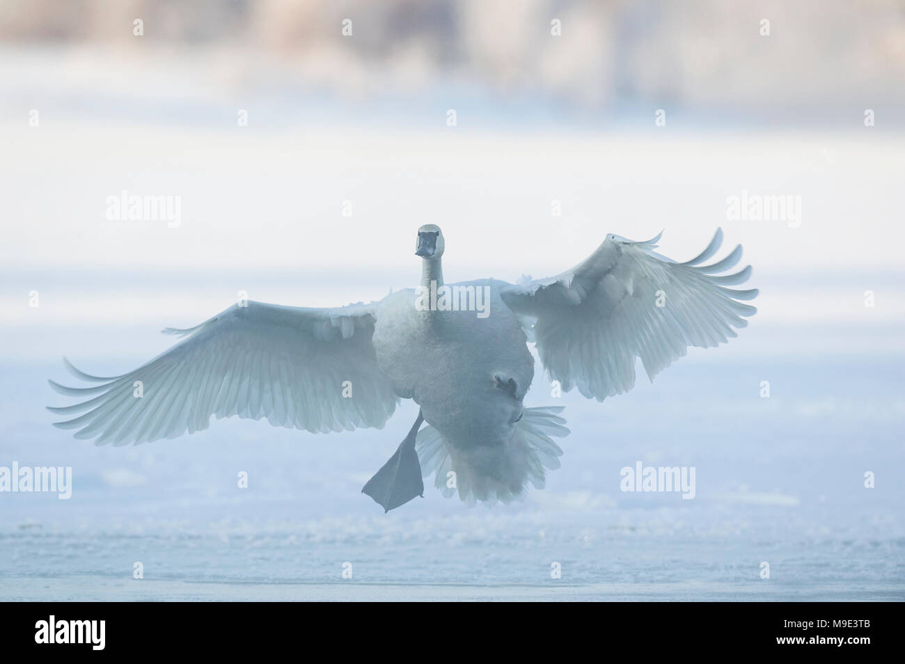 Trumpeter swans (Cygnus buccinator) landing on St. Croix River, Hudson, WI, USA, mid January, by Dominique Braud/Dembinsky Photo Assoc Stock Photo