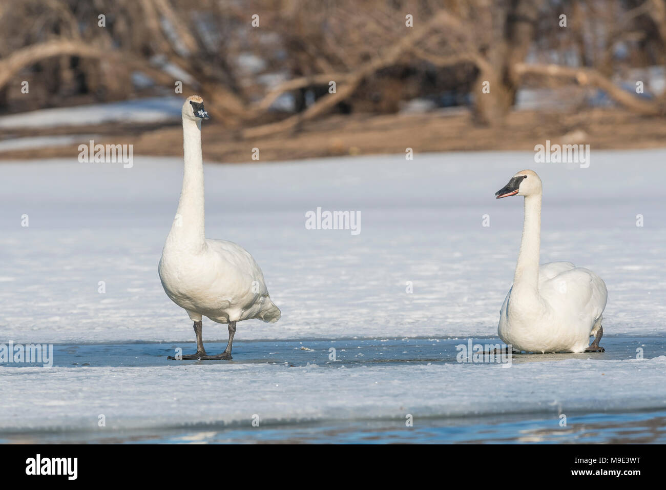 Trumpeter swans (Cygnus buccinator) standing on, St. Croix river, Hudson, WI, USA, late Spring, by Dominique Braud/Dembinsky Photo Assoc - Stock Image
