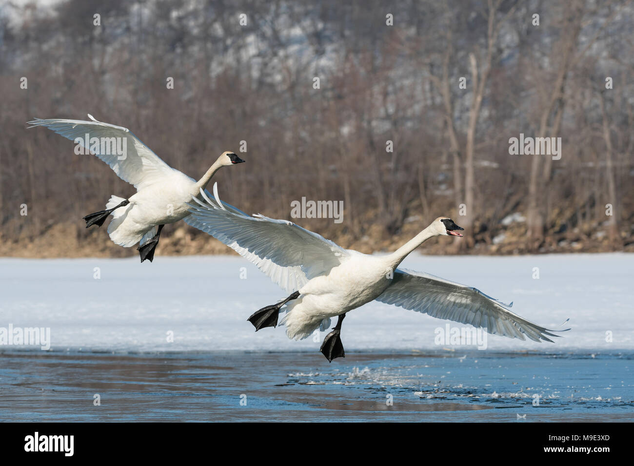 Trumpeter swans (Cygnus buccinator) landing on the St. Croix river, WI, USA, mid-March, by Dominique Braud/Dembinsky Photo Assoc - Stock Image