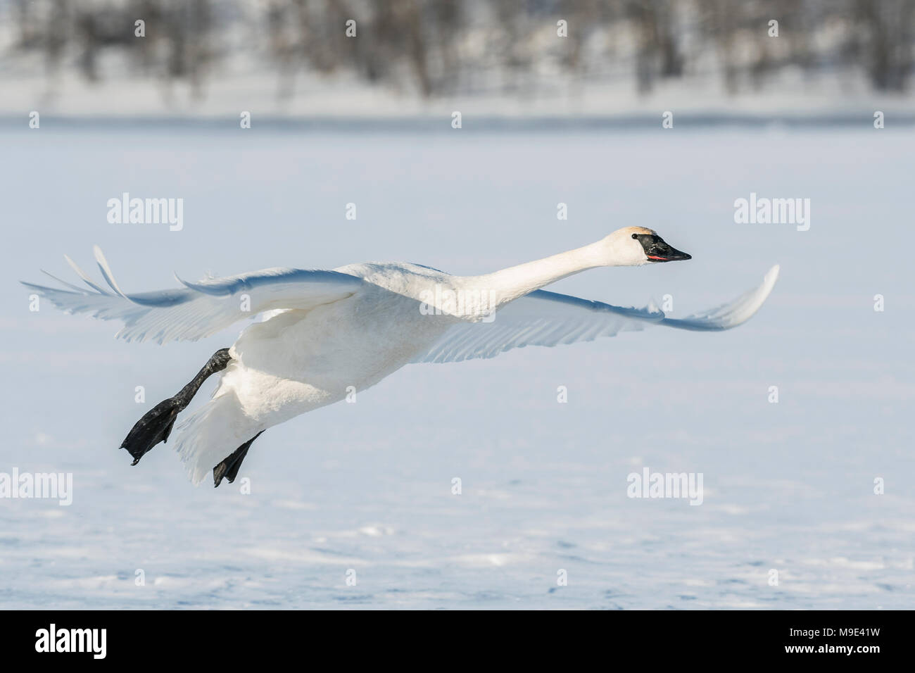 Trumpeter swan (Cygnus buccinator) landing on the frozen St. Croix River. WI, USA, early January, by Dominique Braud/Dembinsky Photo Assoc - Stock Image