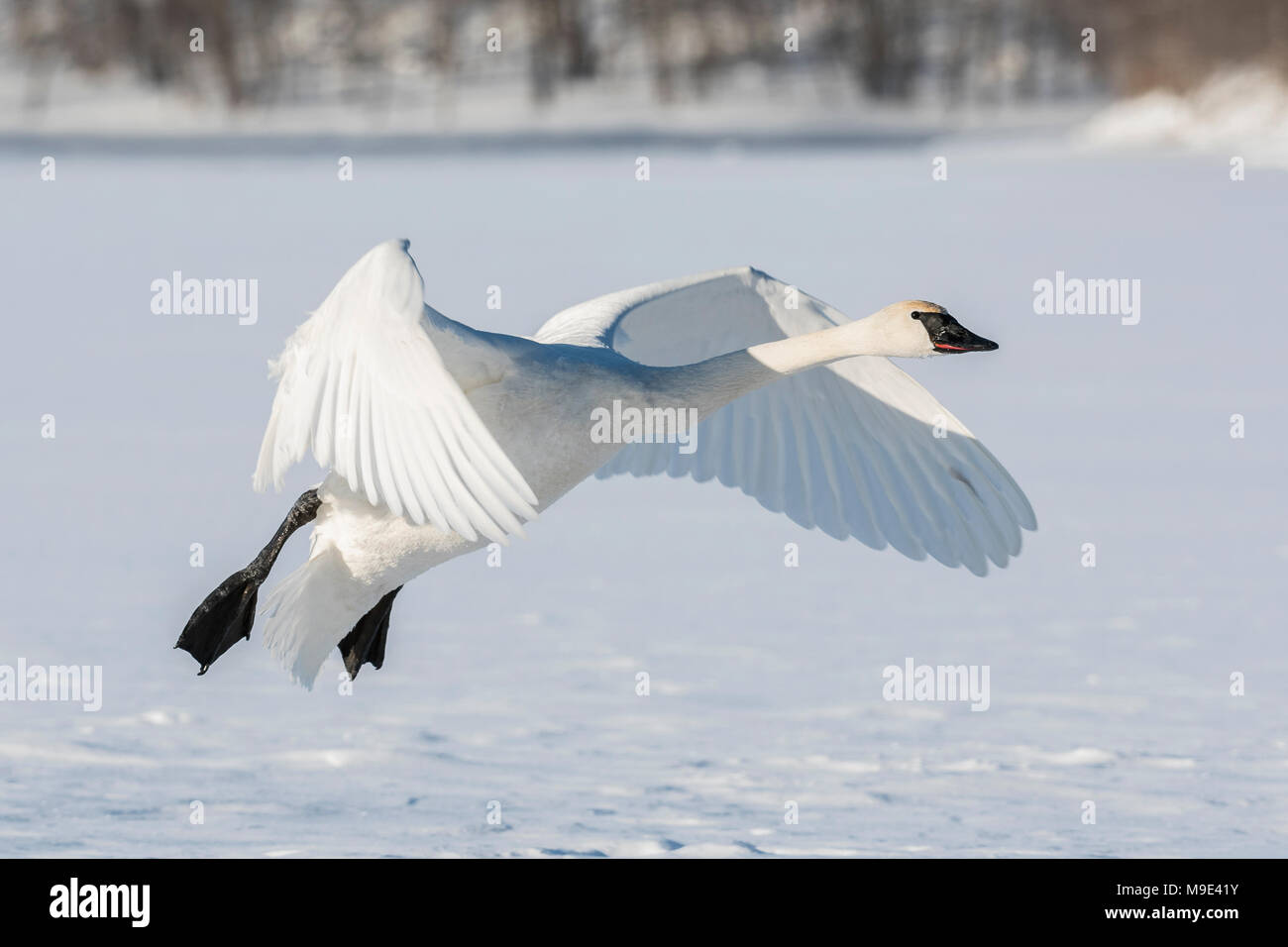 Trumpeter swan (Cygnus buccinator) landing on the frozen St. Croix River. WI, USA, early January, by Dominique Braud/Dembinsky Photo Assoc Stock Photo