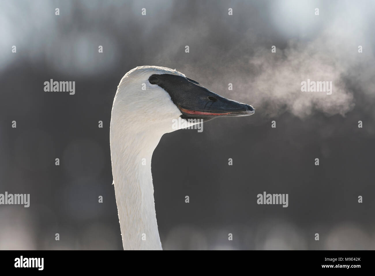 Trumpeter swan (Cygnus buccinator) exhaling, visible breath, WI, USA, early January, by Dominique Braud/Dembinsky Photo Assoc - Stock Image