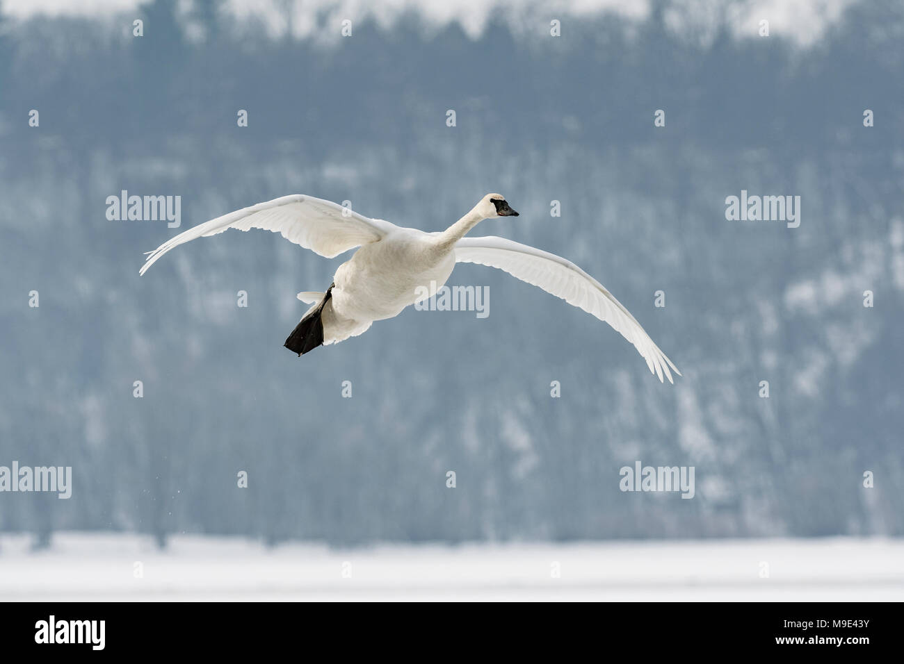 Trumpeter swan (Cygnus buccinator) landing on St. Croix River, WI, USA, mid-January, by Dominique Braud/Dembinsky Photo Assoc - Stock Image