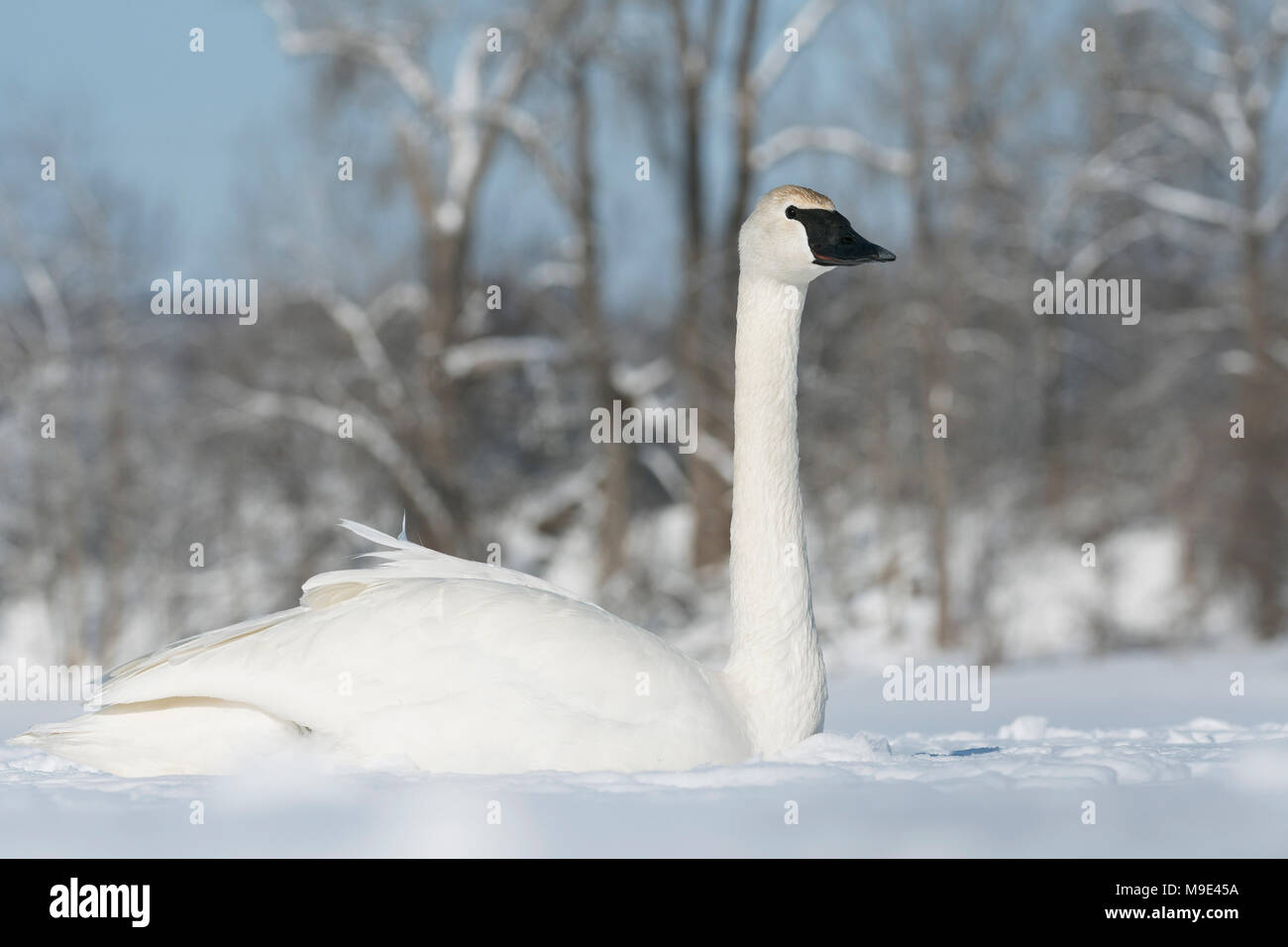 Trumpeter swan (Cygnus buccinator) resting on the frozen St. Croix river, WI, USA, late February, by Dominique Braud/Dembinsky Photo Assoc - Stock Image