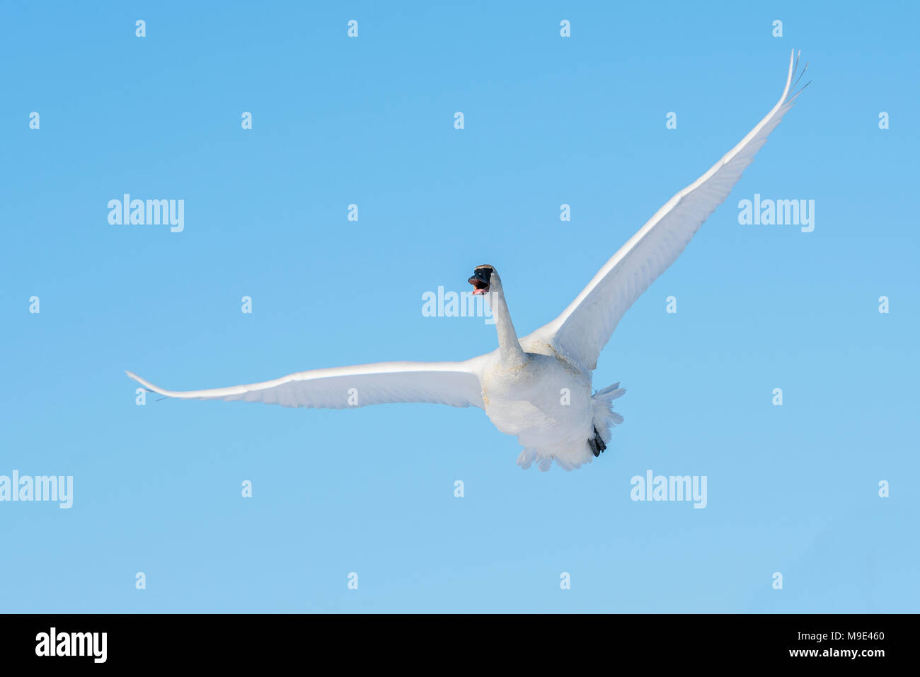 Trumpeter swan (Cygnus buccinator) in flight over the St. Croix river.  Hudson, Wisconsin. Late February, by Dominique Braud/Dembinsky Photo Assoc - Stock Image