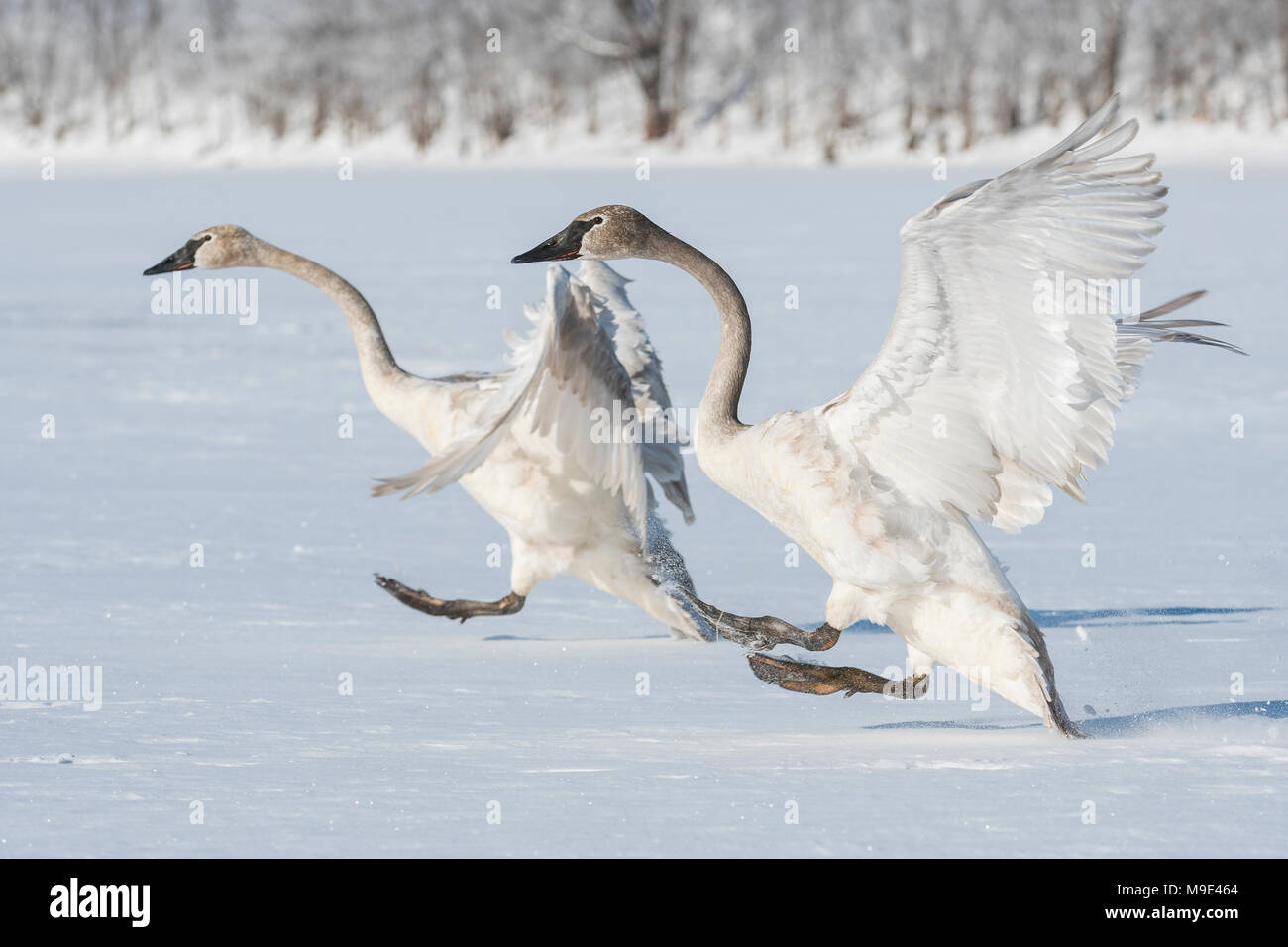 Immature Trumpeter swans (Cygnus buccinator) landing on the frozen St. Croix river, WI, USA, Late February, by Dominique Braud/Dembinsky Photo Assoc - Stock Image