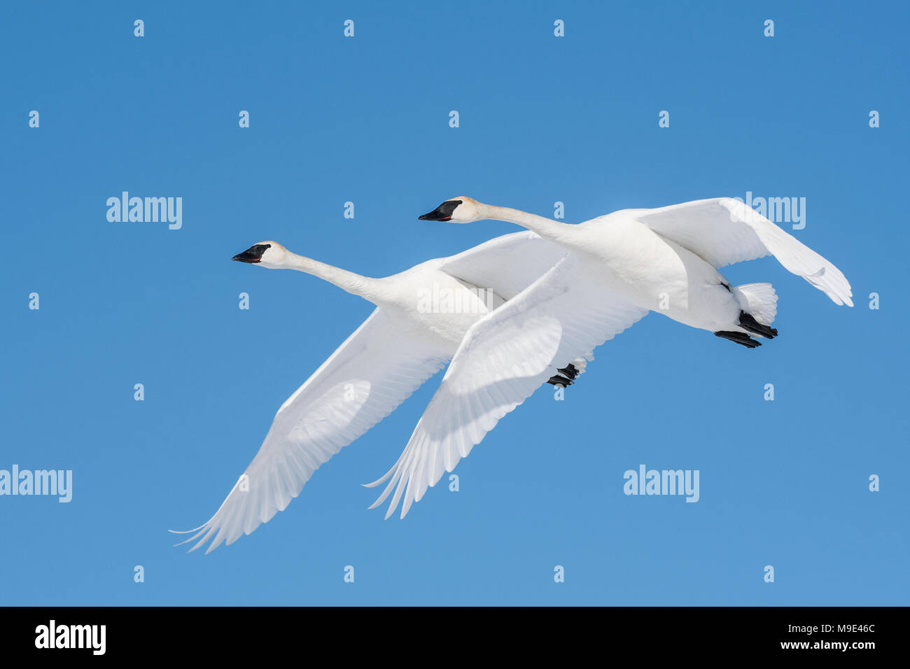 Trumpeter swans (Cygnus buccinator) flying, North America, USA, by Dominique Braud/Dembinsky Photo Assoc - Stock Image