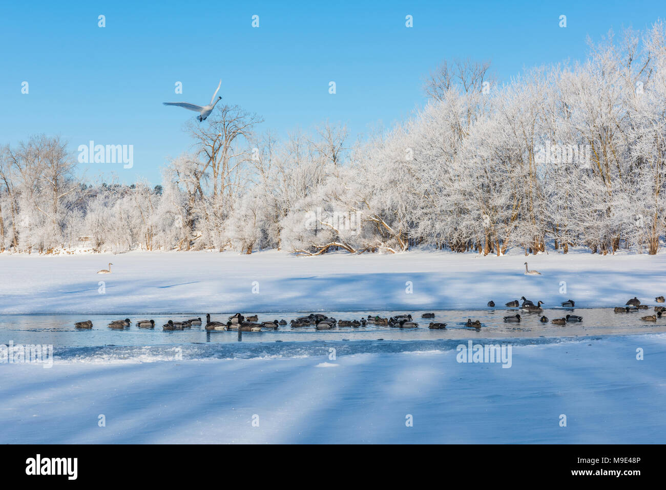 Mixed flock of Mallard ducks, Trumpeter swans and Canada geese, St. Croix river, WI, USA, Late February, by Dominique Braud/Dembinsky Photo Assoc - Stock Image