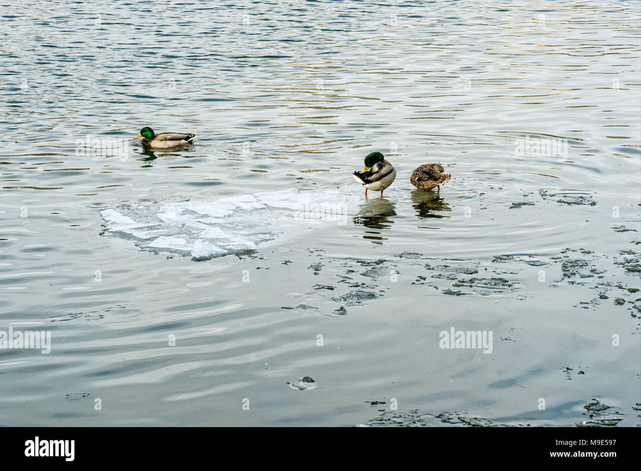 Duck In A Plate Stock Photos & Duck In A Plate Stock Images - Alamy