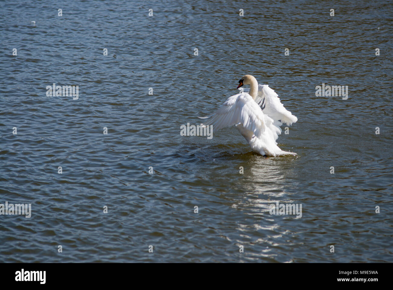 white mute swan stretching its wings on a summers day on water Stock Photo