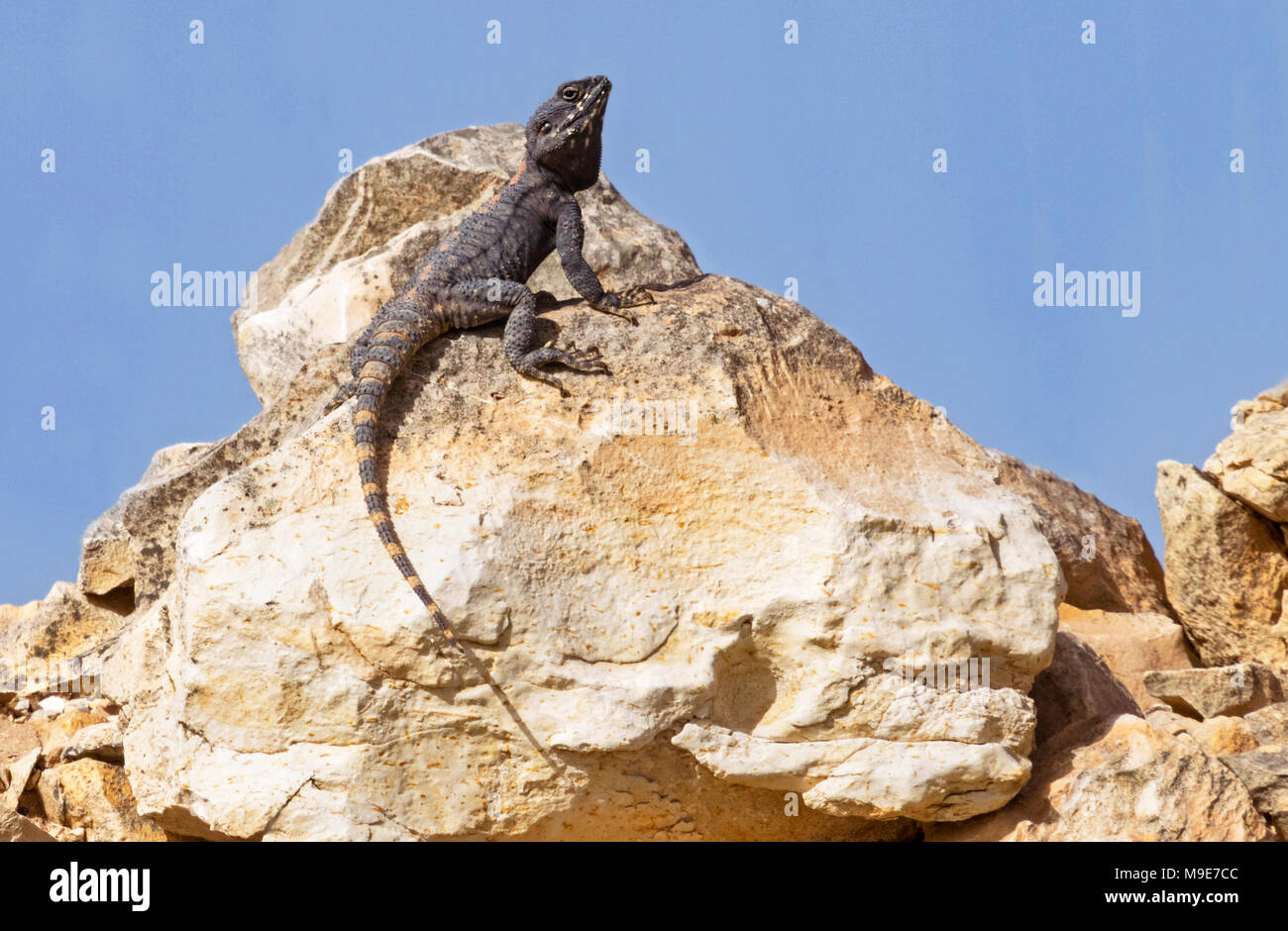 a roughtail rock agama lizard on a boulder displaying mating behavior Stock Photo