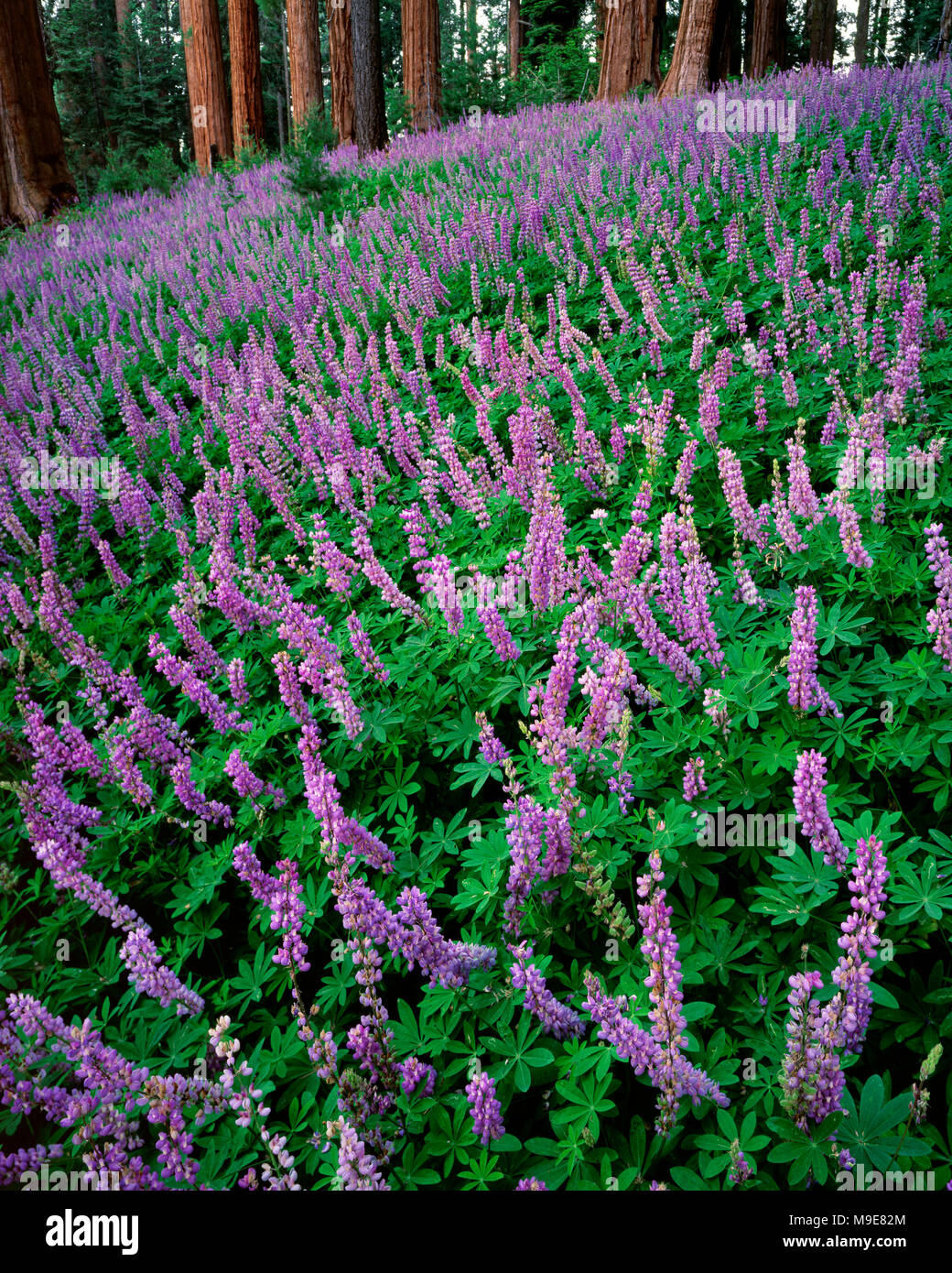Lupin, Lupinus, Redwood Mountain, Kings Canyon National Park, California Stock Photo