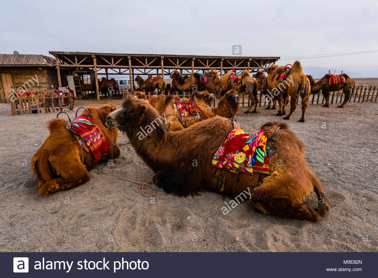 Bactrian camels. Jiayuguan Fort is the western end of the Great Wall built in the Ming Dynasty (1368 – 1644). It was an important military fortress an - Stock Image