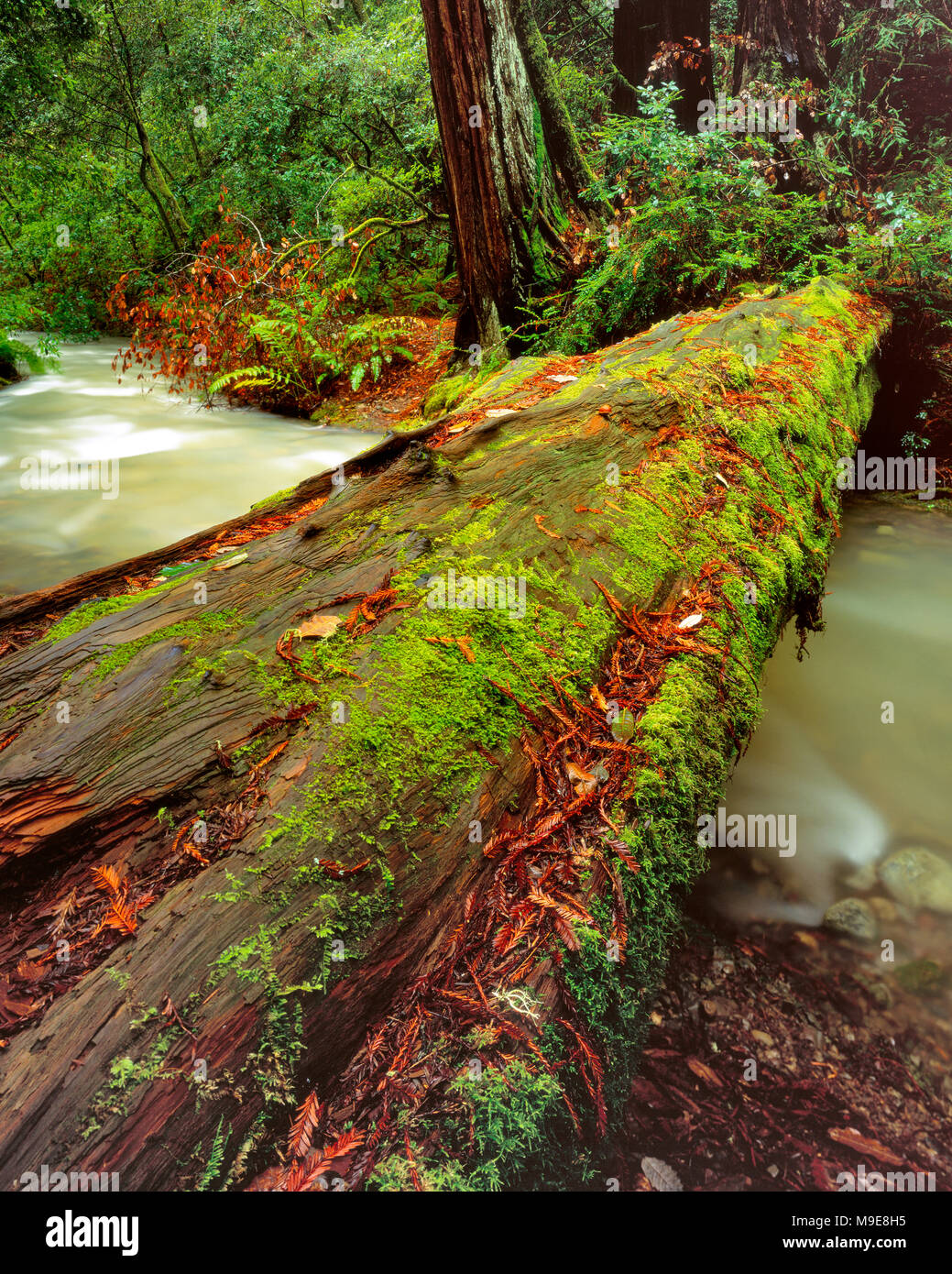 Downed Redwood, Sequoia Sempervirens, Muir Woods National Monument, Marin County, California - Stock Image