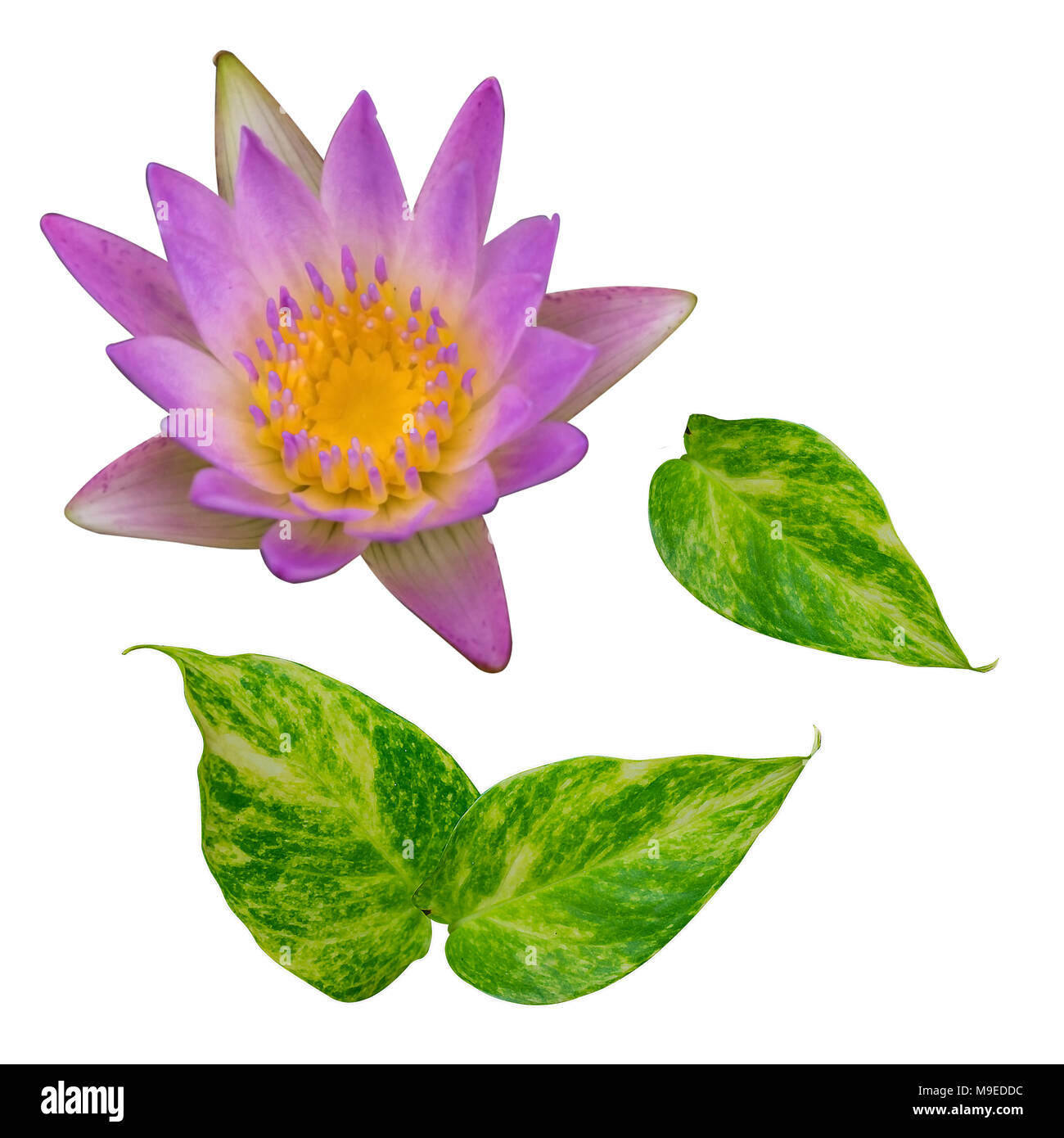 Green Leaf And Pink Lotus Flower Isolate On White Background Stock