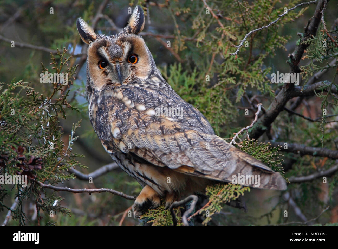 LONG-EARED OWL (Asio otus) - Stock Image