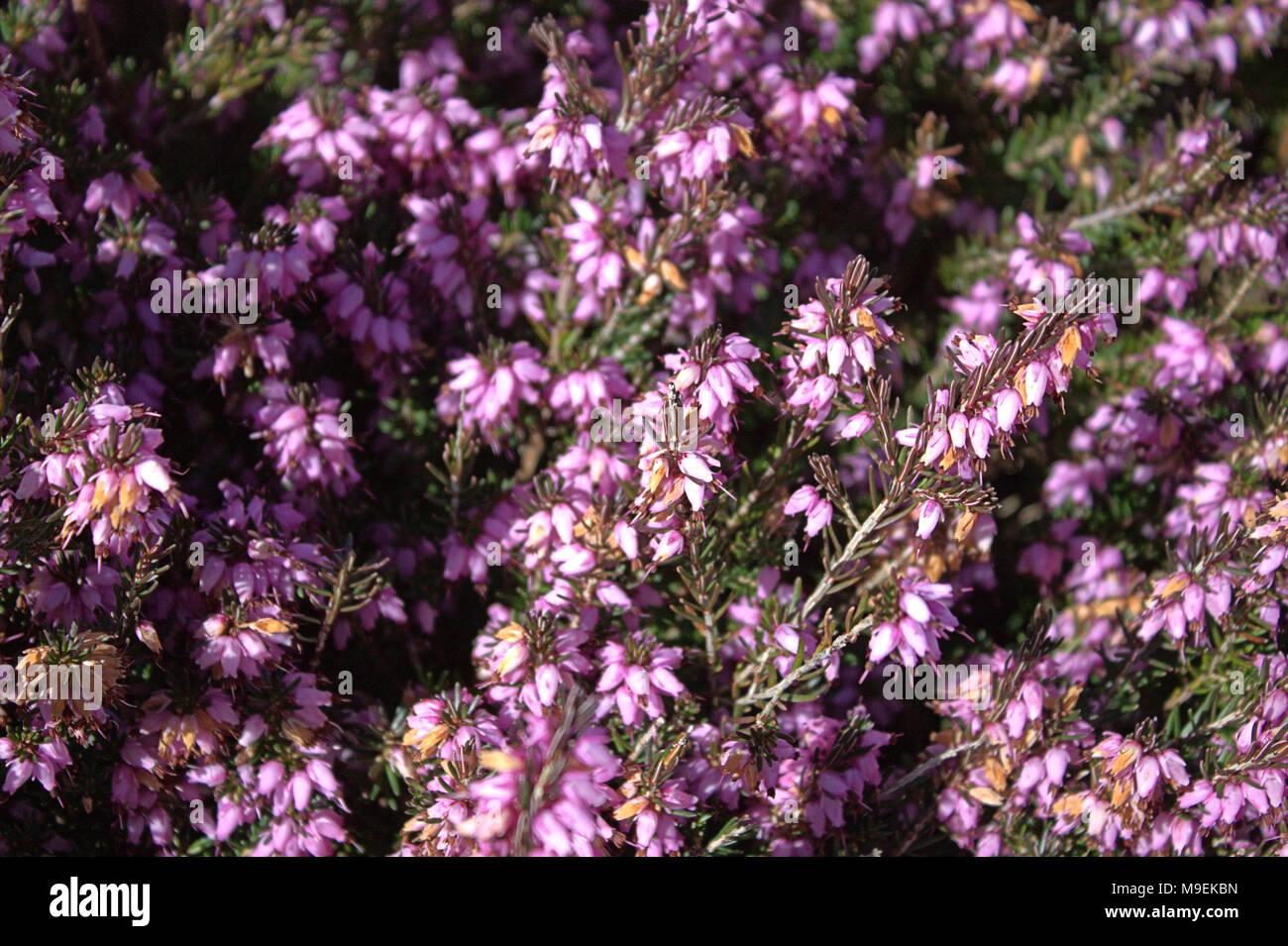 Spring Flowering Heather Erica In Bloom Stock Photo 177958137 Alamy