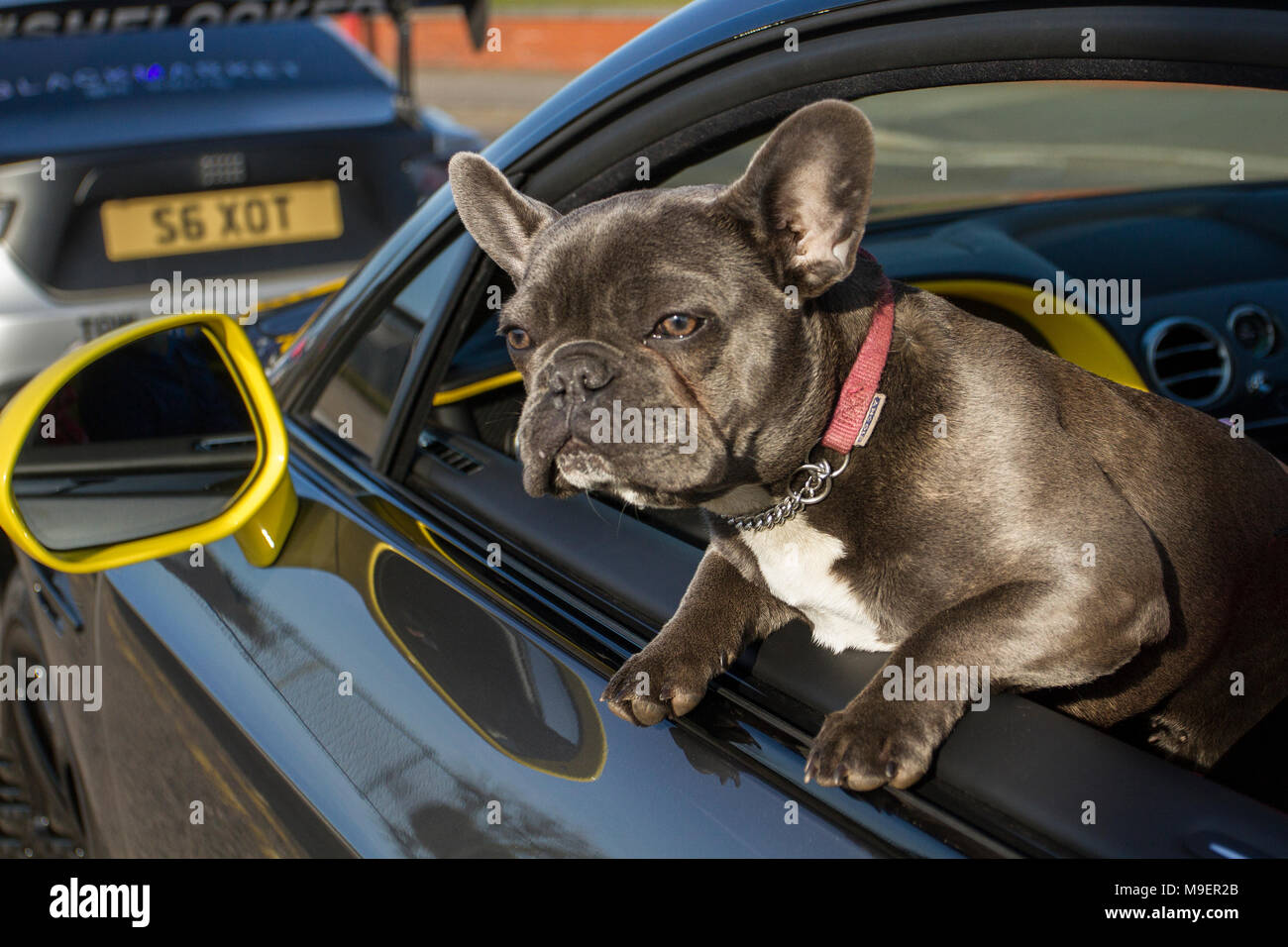 Southport, Merseyside, UK 25th March 2018.  UK Weather. Bright sunshine for Nort-West Supercar event as hundreds of cars and tourists arrive in the coastal resort on a warm spring day. Vogue a French Bulldog, also known as the Frenchie, a small breed of domestic dog enjoying the journey. Cars are bumper to bumper on the seafront esplanade as classic & vintage car enthusiasts take advantage of warm weather for a motoring day out. Credit: MediaWorldImages/Alamy Live News. - Stock Image