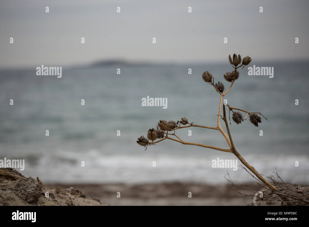 Dried flowers on a winter beach in Manchester-by-the-Sea, Massachusetts. Stock Photo