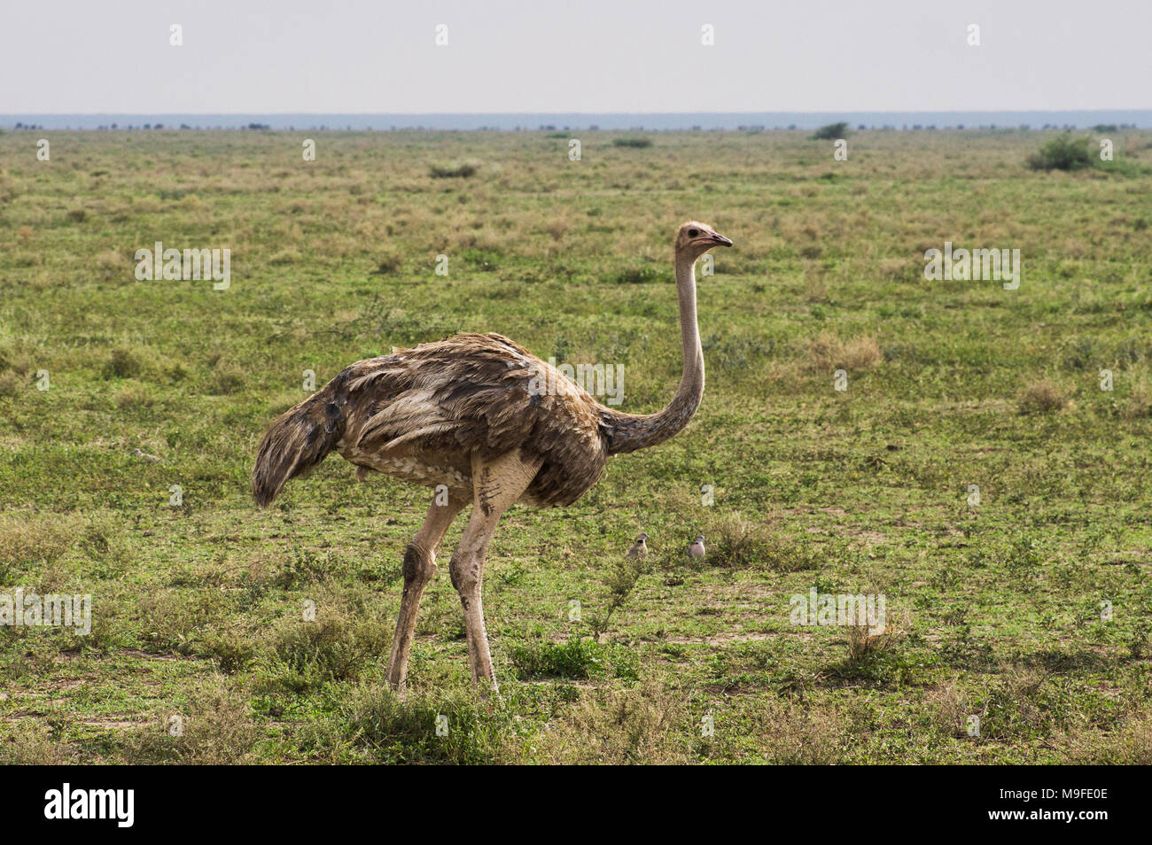 A lone femail ostrich on the plains of the Serengeti in Northern Tanzania, Africa on a sunny day with blue skies - Stock Image