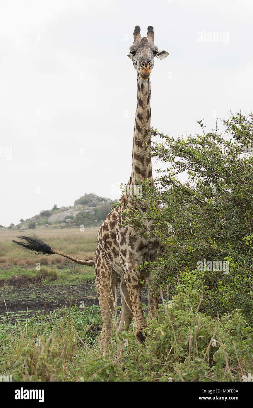 Masai giraffe giraffa camelopardalis tippelskirchi in the serengeti northern tanzania africa looking at a bush white cloudy sky Stock Photo
