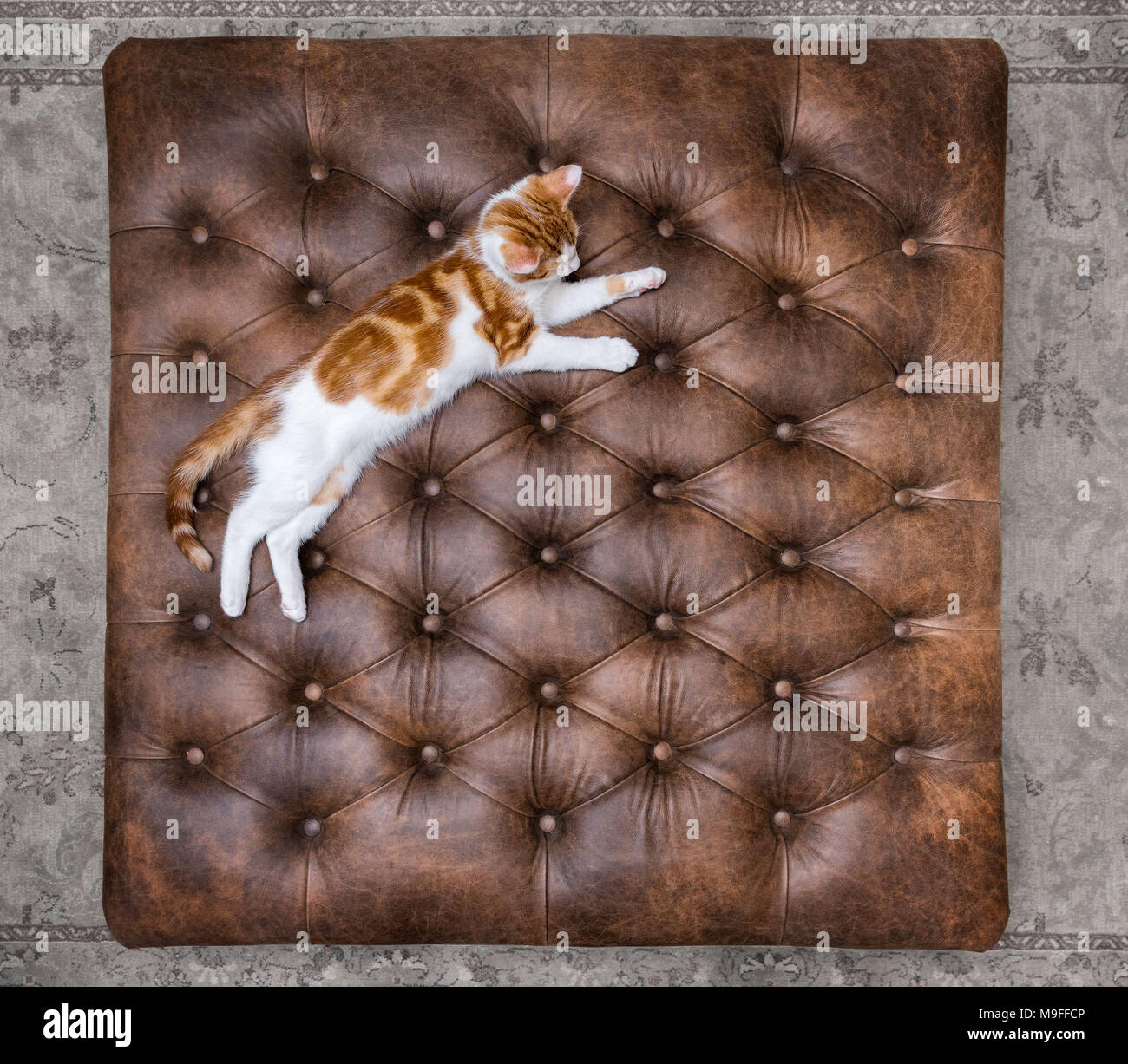 Looking down at cute red kitten sleeping on a luxurious buttoned leather ottoman - Stock Image