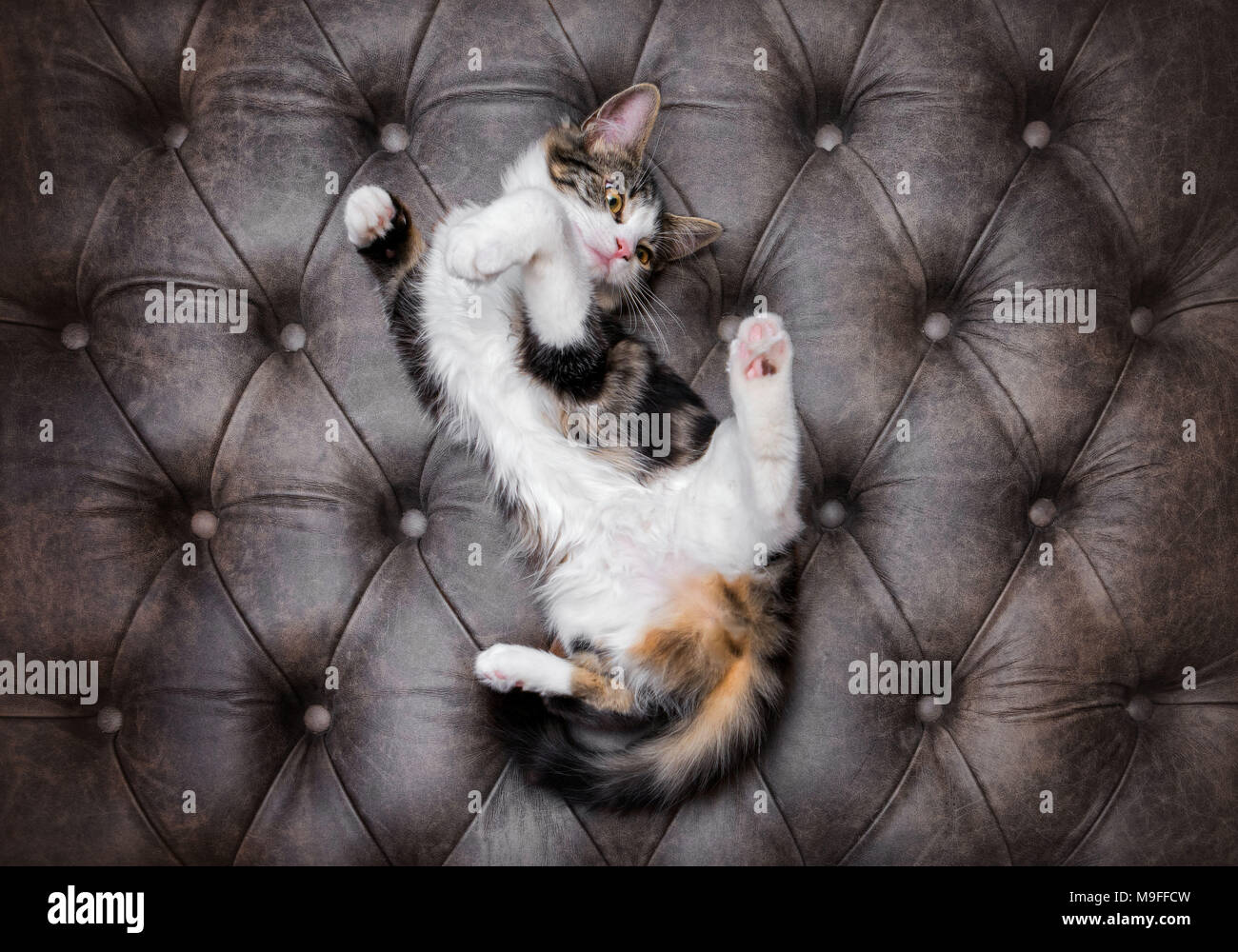 Looking down at playful fluffy kitten on a luxurious leather buttoned ottoman - Stock Image