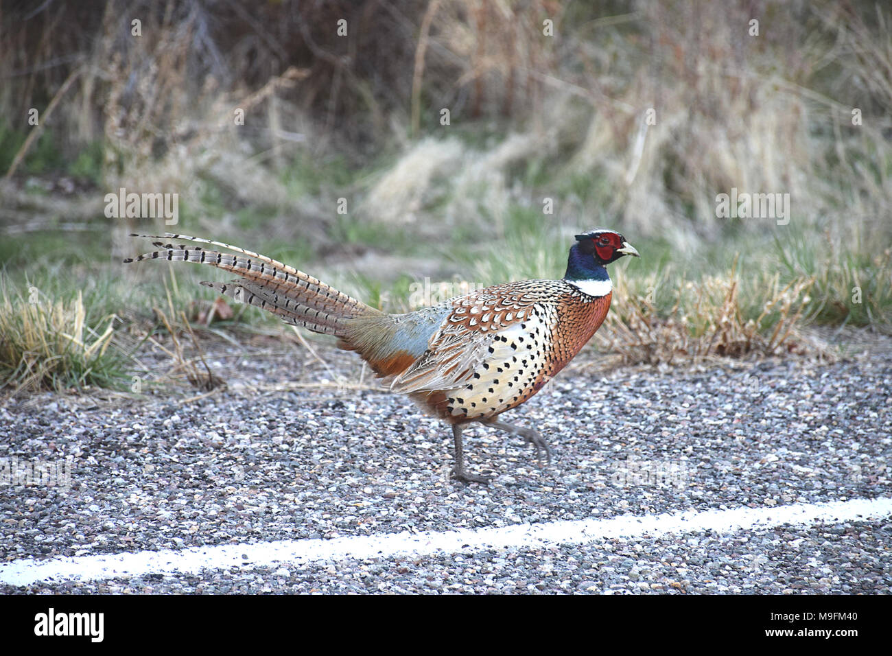 A ring-necked pheasant on the roadside - Stock Image