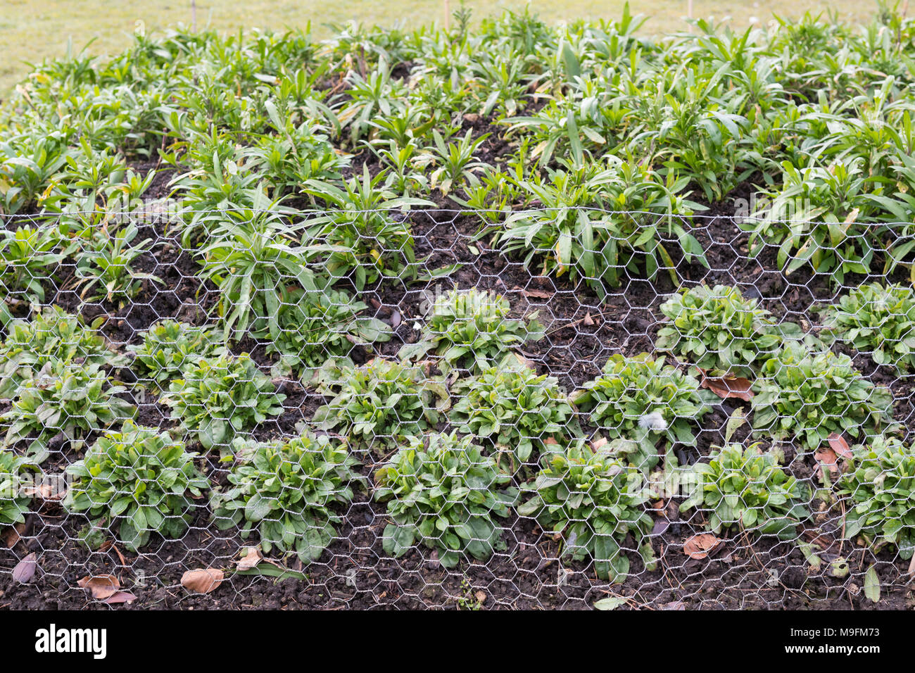 wire mesh chicken wire protecting bedding plants from rabbits - Stock Image