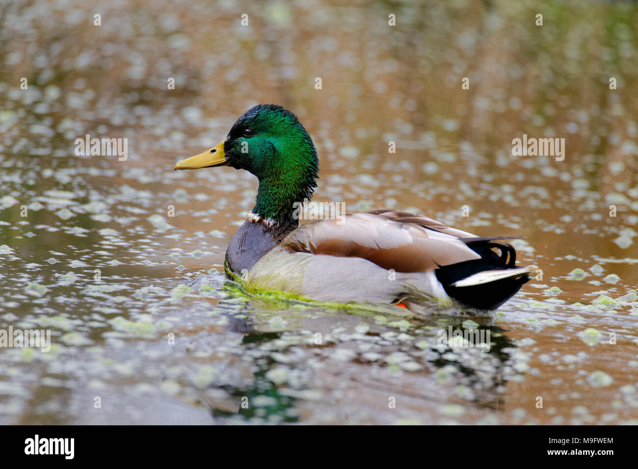 42,083.08071 close up of a green headed Mallard drake swimming on a pond, Anas platyrhynchos, Anatidae, waterfowl, breeding colors - Stock Image