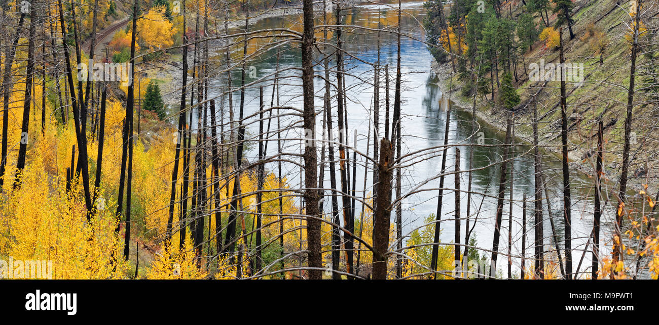 42,652.07313 panorama North Thompson River, burned trees from 13 years after old Barriere, BC, forest fire, yellow fall leaves from slight new brush - Stock Image