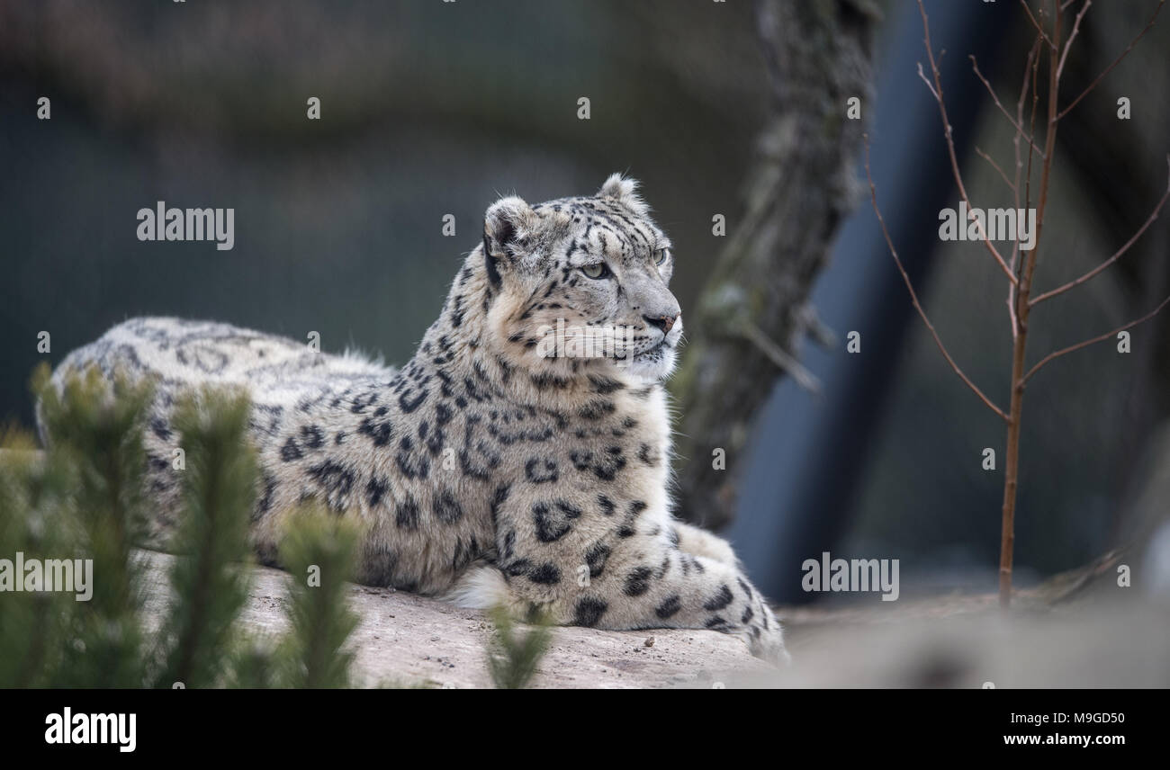 Stuttgart, Germany. 26th Mar, 2018. Snow leopard Kailash lying down during the opening of the new snow leopard compound in the Wilhelma zoo in Stuttgart. The new compound offers four times more space than their old enclosure. Photo: Sebastian Gollnow/dpa Credit: dpa picture alliance/Alamy Live News - Stock Image