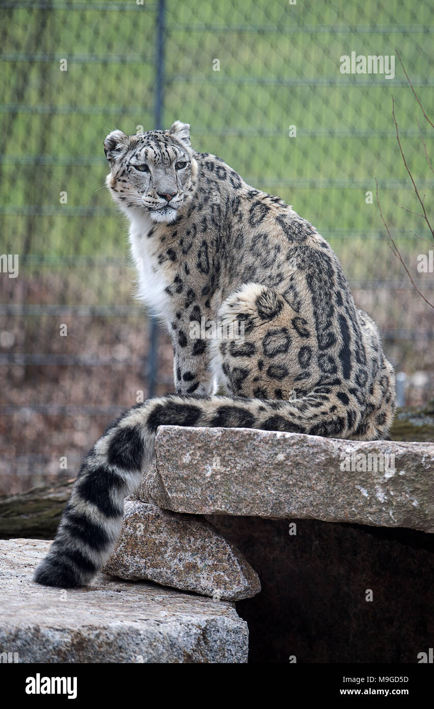 Stuttgart, Germany. 26th Mar, 2018. Snow leopard Kailash sitting during the opening of the new snow leopard compound in the Wilhelma zoo in Stuttgart. The new compound offers four times more space than their old enclosure. Photo: Sebastian Gollnow/dpa Credit: dpa picture alliance/Alamy Live News - Stock Image
