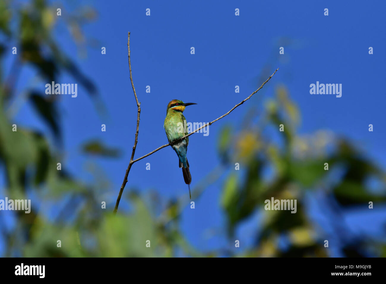An Australian, Queensland Male Rainbow Bee-eater, Merops ornatus resting on a Tree branch - Stock Image