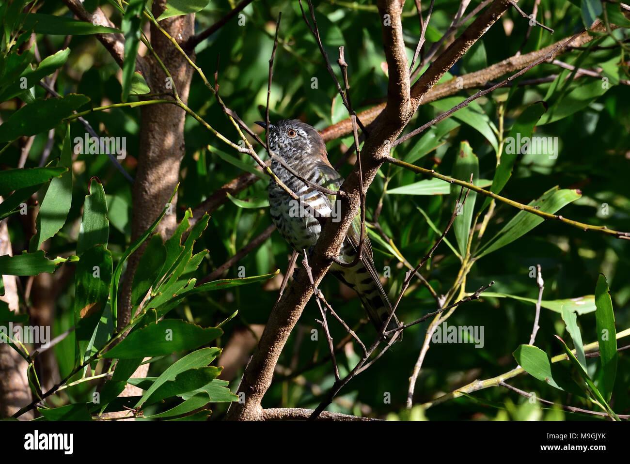 An Australian, Queensland Shining Bronze-cuckoo, Chrysococcyx lucidus hiding in a thick Bush - Stock Image