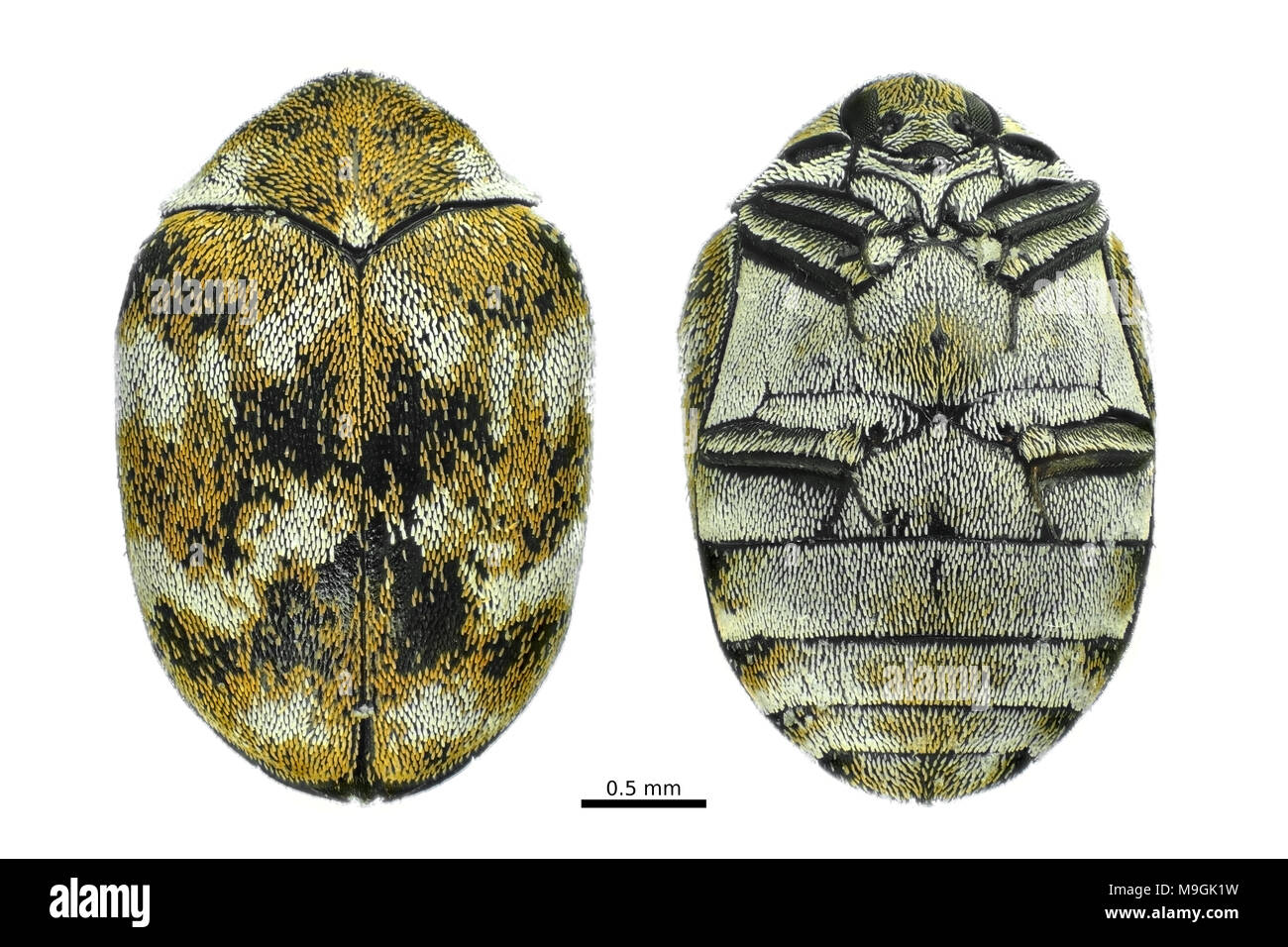 Light micrograph of a varied carpet beetle (Anthrenus verbasci), dorsal and ventral views isolated on white background - Stock Image