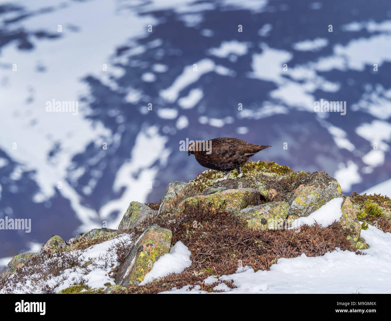 A Male Red Grouse on the spring snowfields above Glenshee in Scottish Highlands looking for food - Stock Image