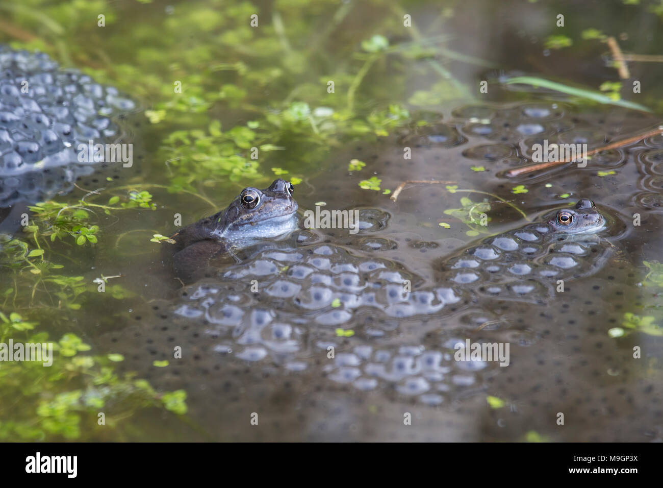 Common frogs Rana temporaria in a garden pond surrounded by frog spawn in spring - Stock Image