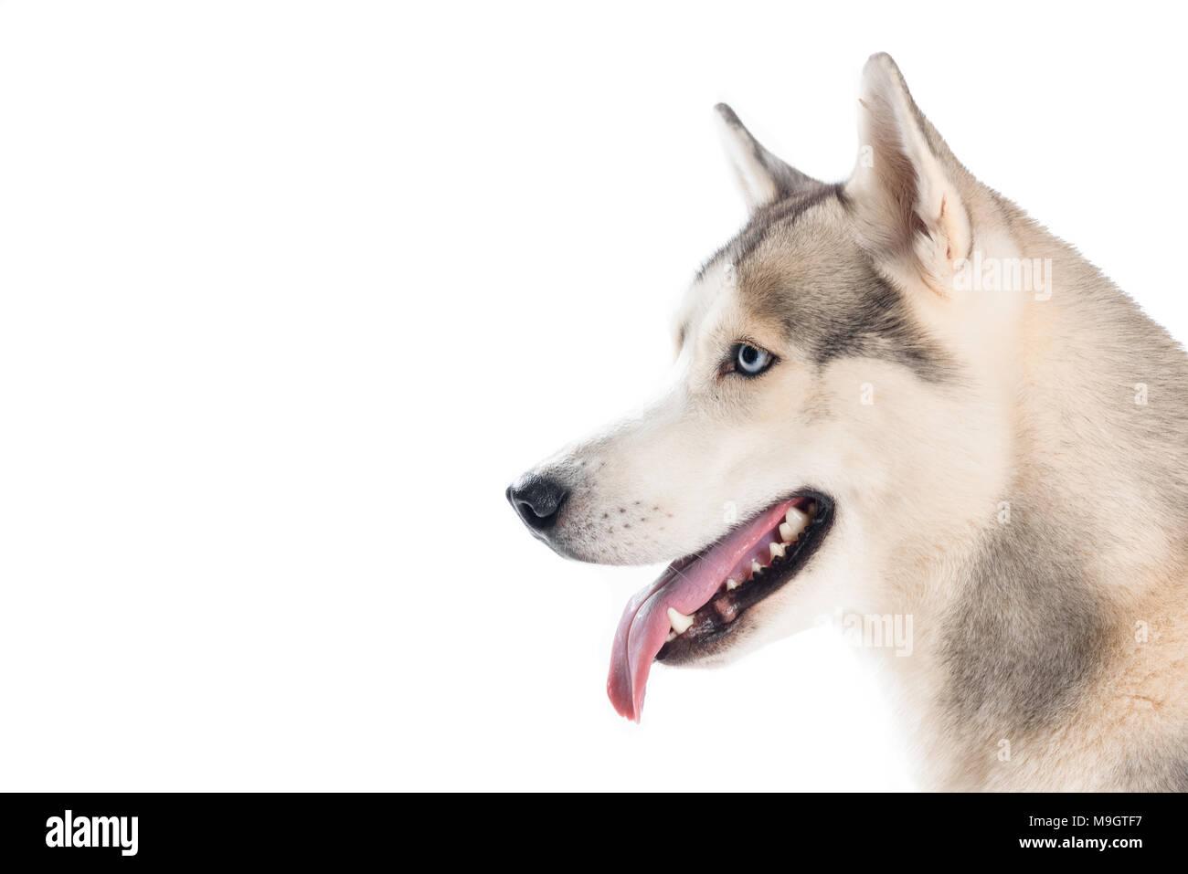 studio shot of siberian husky dog, isolated on white - Stock Image